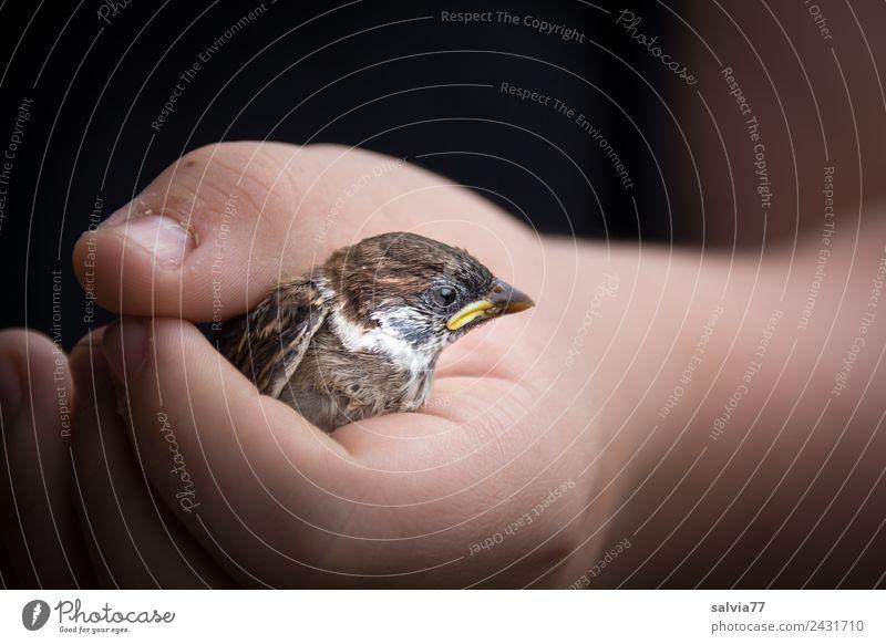 Lieber den Spatz in der Hand... Haut Arme Natur Tier Vogel Tiergesicht Haussperling Sperlingsvögel 1 festhalten braun schwarz Tierliebe Verantwortung Schutz