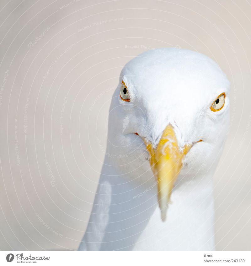 Whitewine With The Fish? weiß Auge Tier Kopf Vogel ästhetisch Feder Tiergesicht beobachten Neugier grinsen bizarr Möwe Schnabel Stolz klug