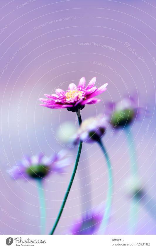 et voilà ! Umwelt Natur Pflanze Blume Blatt Blüte Blühend Blütenblatt Stengel rosa violett mehrere hervor stechen emporragend Farbfoto mehrfarbig Außenaufnahme