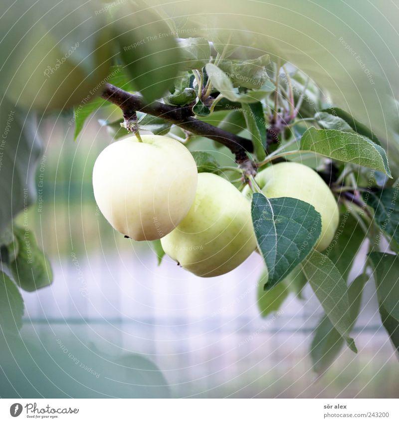 ausm Garten Lebensmittel Frucht Obstgarten Gartenobst Bioprodukte Vegetarische Ernährung Umwelt Pflanze Sommer Baum Blatt Nutzpflanze Ast Apfelbaum