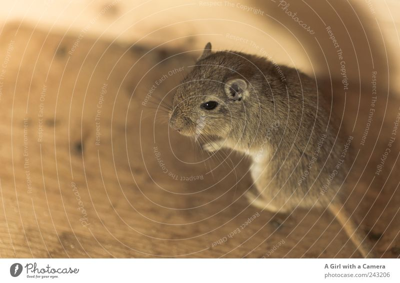 Julie schön Tier Wohnung stehen außergewöhnlich Fell hören niedlich Freundlichkeit Kontrolle Maus Haustier interessant Fellfarbe Mongolische Rennmaus