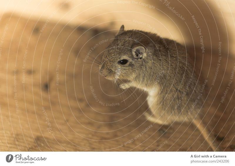 Julie Tier Haustier Maus Mongolische Rennmaus 1 hören Kontrolle stehen niedlich interessant schön außergewöhnlich Fell Fellfarbe Freundlichkeit Wohnung