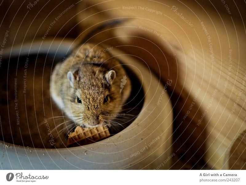 Pia schön Tier klein braun gold außergewöhnlich Coolness niedlich Tiergesicht Freundlichkeit Maus exotisch Fressen Haustier Nagetiere zutraulich