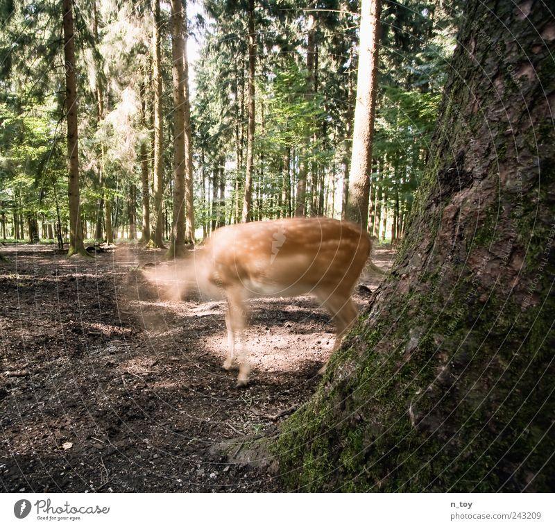 Kopflos Baum Sommer ruhig Tier Wald wandern Erde Fell Baumstamm Moos Surrealismus Baumrinde Reh Kiefer Waldlichtung kopflos