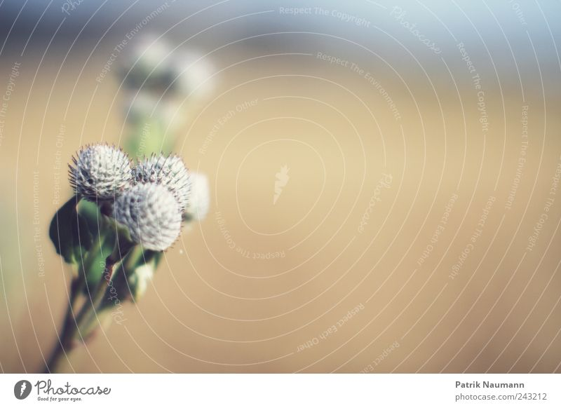 Brüder Umwelt Natur Sommer Klimawandel Schönes Wetter Pflanze Blüte Grünpflanze berühren Blühend Duft ästhetisch elegant frei stachelig weich blau gelb gold