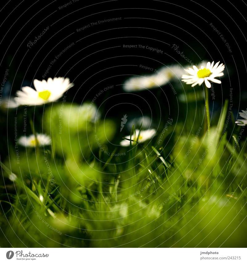 Gänseblümchen Natur Pflanze Freude ruhig Wiese Blüte Gras Garten Glück Park Landschaft Zufriedenheit Umwelt frisch Fröhlichkeit Wachstum