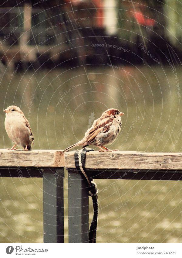 Spatzen im Regen Natur Tier ruhig Erholung Umwelt Garten See Park Vogel sitzen fliegen nass natürlich Brücke Pause