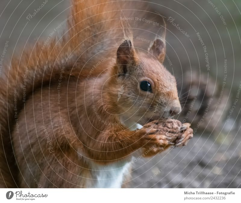 Fressendes Eichhörnchen Frucht Walnuss Natur Tier Sonne Sonnenlicht Schönes Wetter Wald Wildtier Tiergesicht Fell Krallen Pfote Schwanz Pinselohren Ohr 1
