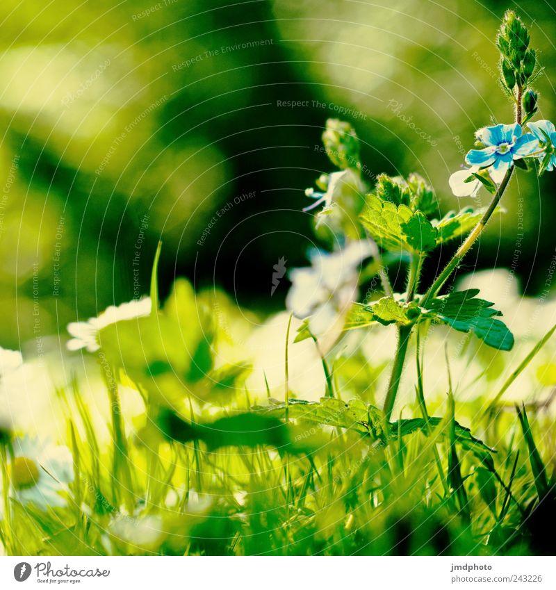 Blumenwiese Umwelt Natur Landschaft Pflanze Sonnenlicht Sommer Gras Blatt Blüte Grünpflanze Garten Park Wiese Feld Blühend Duft frei Freundlichkeit Fröhlichkeit
