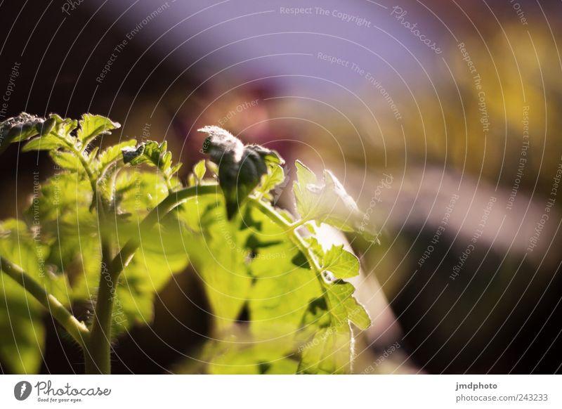 Tomaten Umwelt Natur Landschaft Pflanze Frühling Sommer Klima Sträucher Blatt Grünpflanze Nutzpflanze Garten Feld Duft Wachstum frisch lecker grün Zufriedenheit
