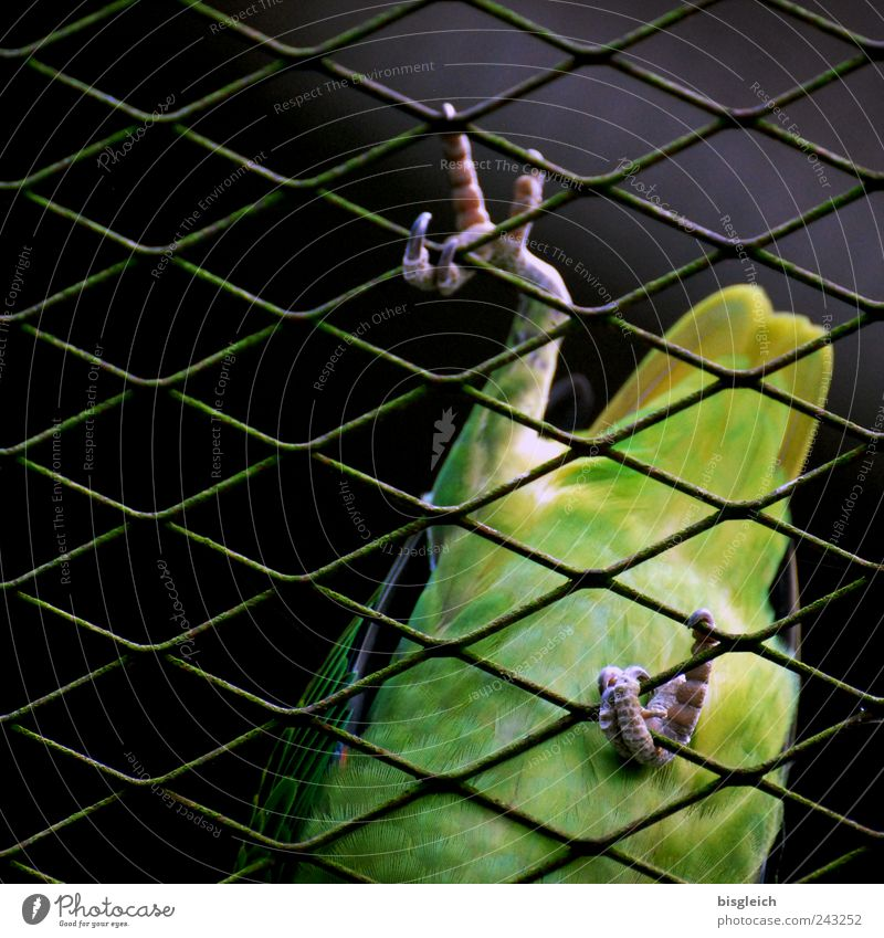 Kuala Lumpur Bird Park V Vogel Flügel Krallen Papageienvogel Feder 1 Tier grün Klettern gehen Gitternetz Farbfoto Außenaufnahme