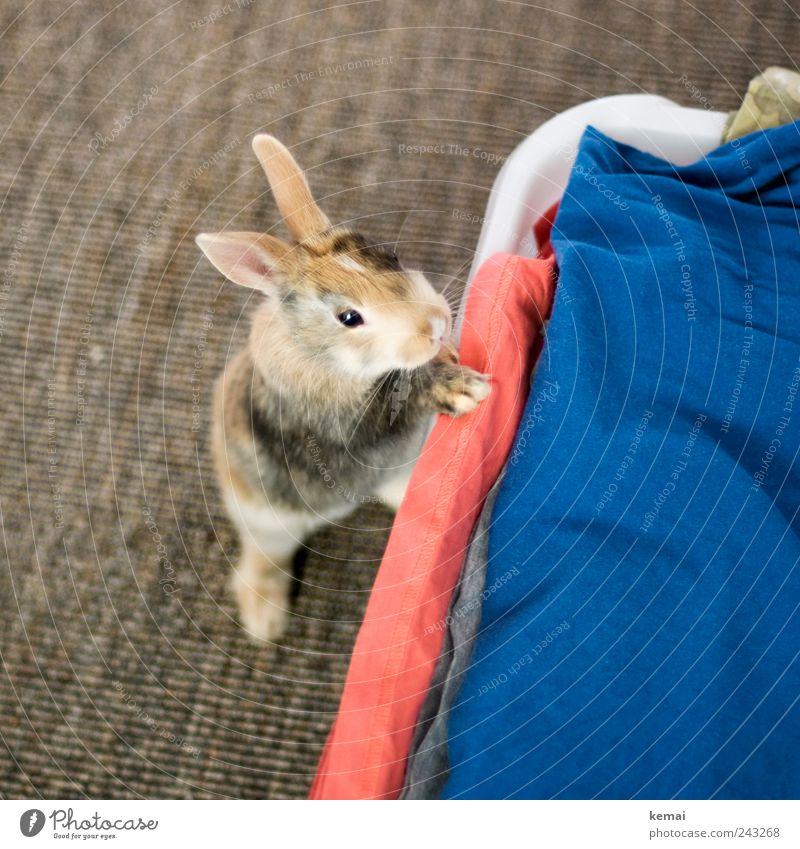 Neugierig Häusliches Leben Wohnung Teppich Wäsche Wäschekorb Tier Haustier Tiergesicht Fell Pfote Hase & Kaninchen Zwergkaninchen Zwerghase Auge Ohr Hasenohren