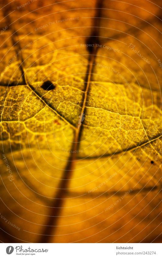 Blattgold Natur Pflanze Herbst Linie welk Blattadern Herbstlaub Strukturen & Formen braun alt Rost Vergänglichkeit Gefäße Farbfoto Nahaufnahme Detailaufnahme