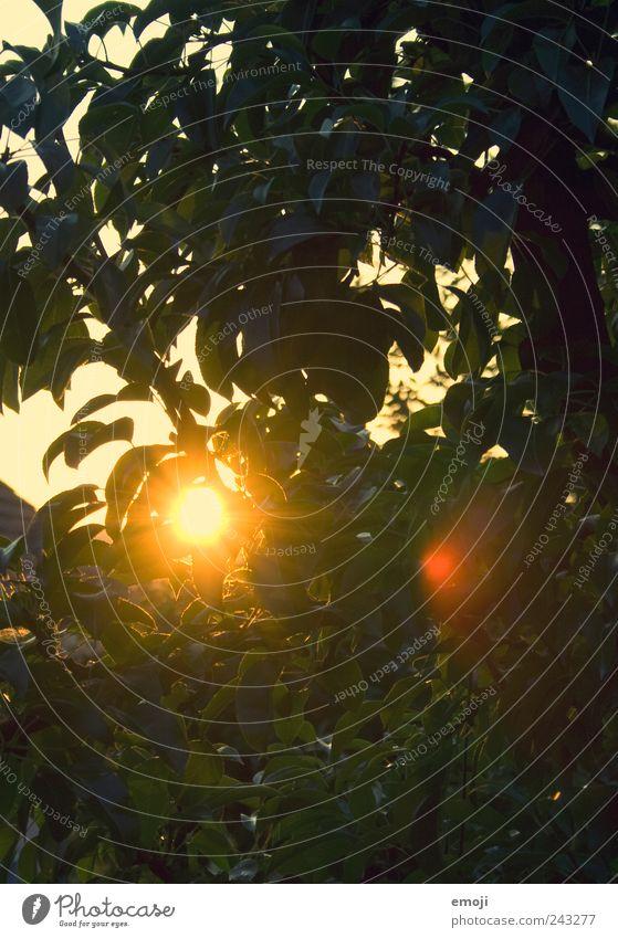durchleuchtet Natur Baum Sonne Pflanze Sommer Blatt gelb Garten Wärme Umwelt gold Blendenfleck