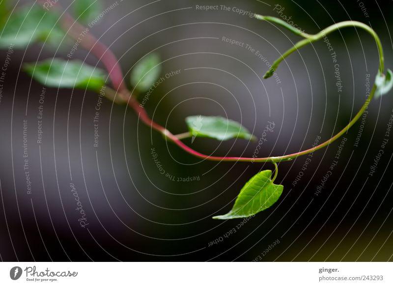 Ein bisschen Fibonacci Umwelt Natur Pflanze Sommer Blatt Grünpflanze Ranke grün Spirale goldene Spirale biegen gekrümmt drehen Wachstum Trieb Farbfoto