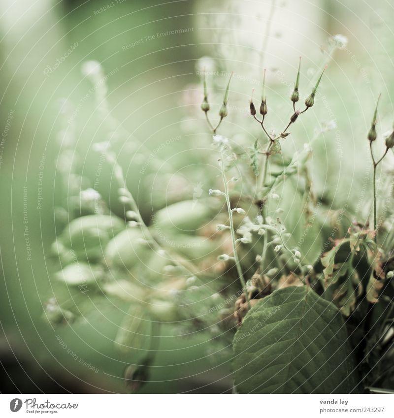 Unkraut Pflanze Gras Blatt Blüte Grünpflanze Wildpflanze grün Vergänglichkeit Vergißmeinnicht Farbfoto Gedeckte Farben Makroaufnahme Textfreiraum links