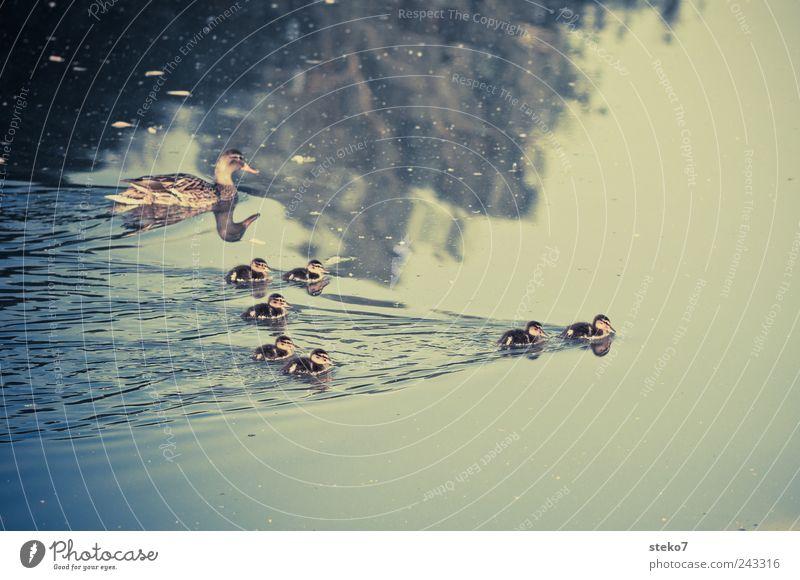 zum davonschwimmen Wasser See Tierjunges Tierfamilie niedlich Ente Küken Retro-Farben führen 7 klein Formation Farbfoto Außenaufnahme Menschenleer