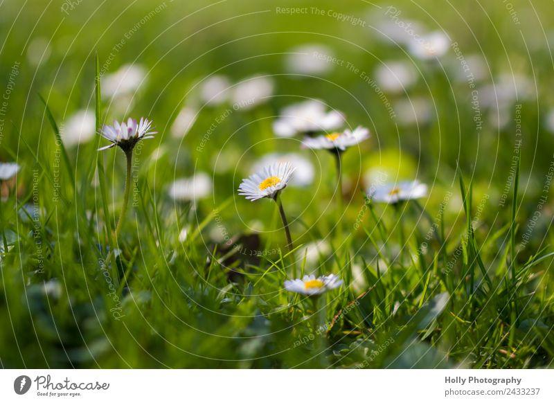 Blümlein Natur Sommer Pflanze schön grün weiß Blume Leben gelb Gesundheit Umwelt Frühling Blüte Wiese Gras Glück