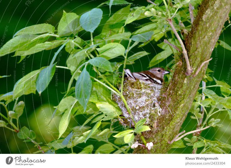 """""""Rücksicht"""" Umwelt Natur Pflanze Tier Holunderbusch Garten Park Wald Vogel Buchfink 1 beobachten grau grün Fürsorge behüten Brutpflege Farbfoto Außenaufnahme"""