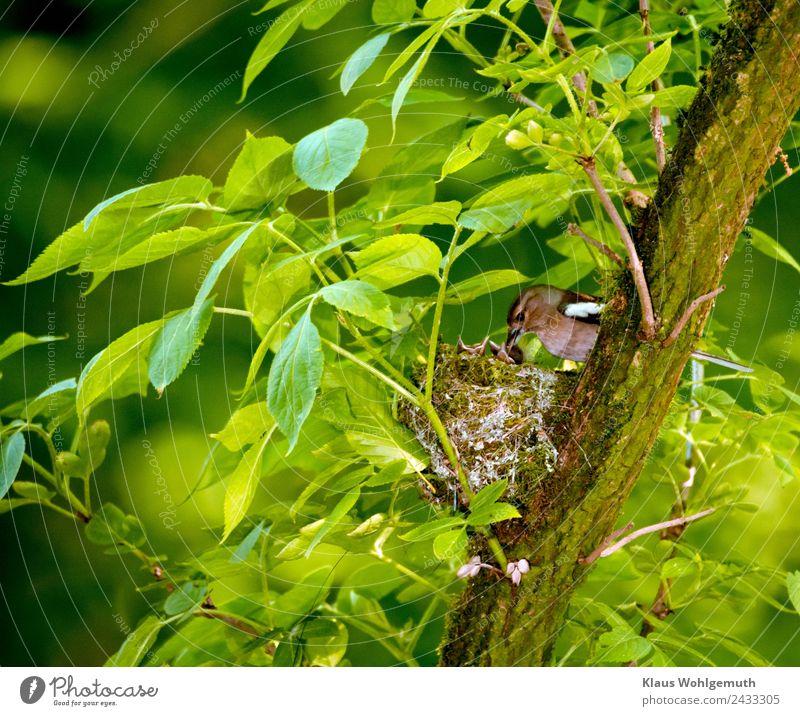 Buchfink bringt seinen Jungen Wasser Umwelt Natur Frühling Sommer Pflanze Baum Holunderbusch Park Wald Tier Wildtier Vogel Tierjunges füttern trinken braun grau