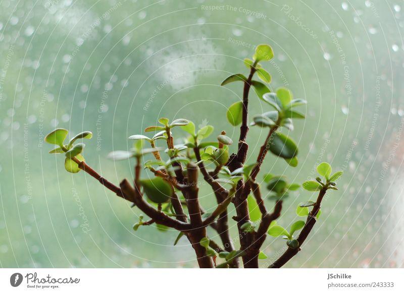 wie lange noch? Natur Baum Pflanze ruhig kalt Fenster Traurigkeit Regen hell warten Wassertropfen Langeweile Fensterscheibe Grünpflanze Topfpflanze