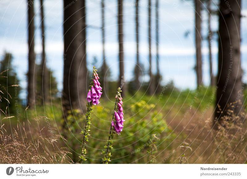 Wald Landwirtschaft Forstwirtschaft Natur Landschaft Pflanze Klima Wetter Schönes Wetter Wildpflanze ästhetisch rein Umwelt Fingerhut giftig Gift Giftpflanze