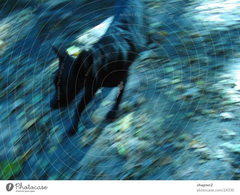 Hund Labrador 100 Meter Lauf Bewegung laufen Retriever