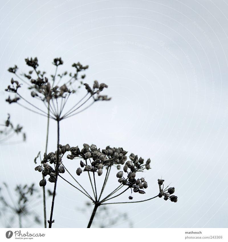 titel-casting Natur Himmel Herbst Pflanze Sträucher Wildpflanze trocken blau schwarz Doldenblüte Samen Farbfoto Gedeckte Farben Außenaufnahme Nahaufnahme