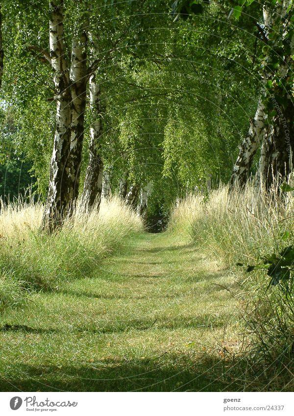 Birkenallee Baum grün Gras Romantik Allee