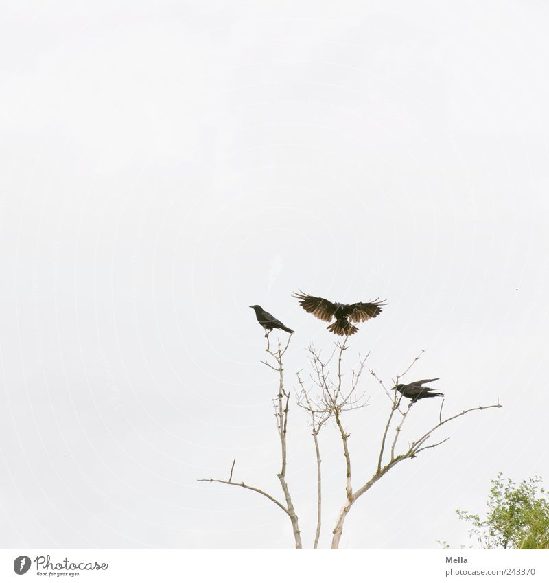 Landeplatz Umwelt Natur Pflanze Baum Ast Zweig Tier Vogel Krähe 3 fliegen sitzen frei hell natürlich Zusammensein Bewegung Freiheit Flügel ausbreiten Landen