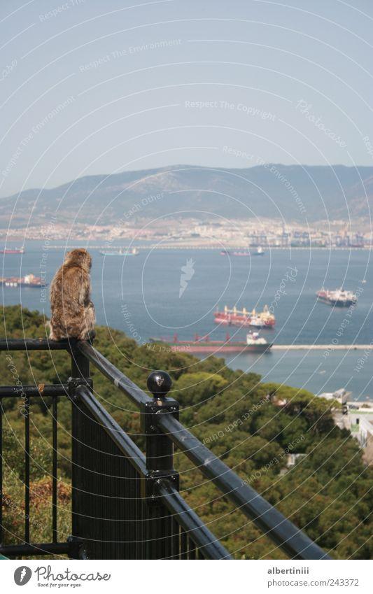 Der Affe blickt herunter Natur Sommer Hafenstadt Containerschiff Tier Wildtier 1 beobachten Blick Farbfoto Außenaufnahme Menschenleer Tag Blick nach vorn