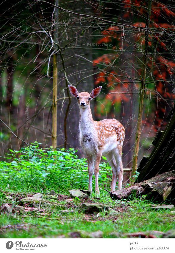 rehkitz Natur Sommer Baum Gras Sträucher Wald Tier Wildtier 1 Tierjunges Blick Reh Rehkitz mehrfarbig Außenaufnahme Menschenleer Textfreiraum links