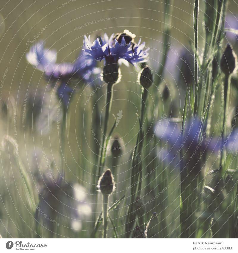 Sommerwiese Natur grün Pflanze Tier Wiese Blüte Gras Frühling Garten Umwelt fliegen Klima violett Blühend Biene