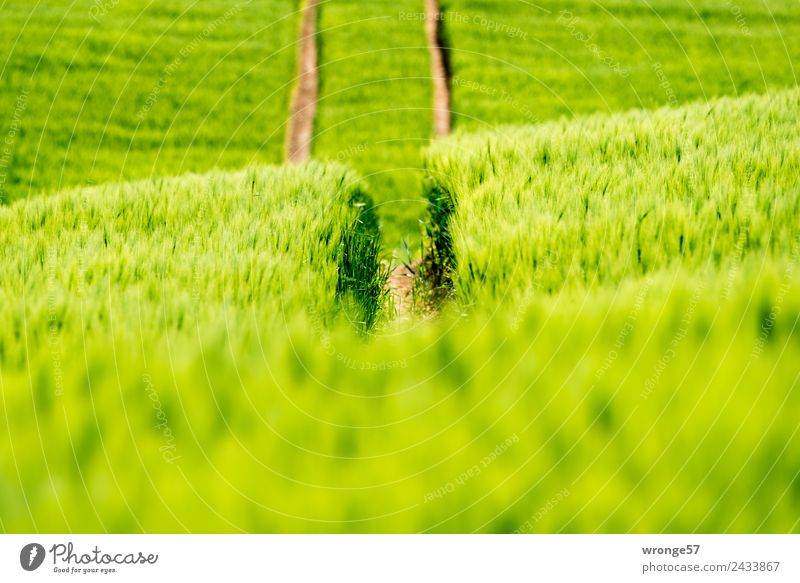 Getreidefeld mit Fahrspuren Natur Sommer Pflanze grün Umwelt Feld Ernährung Wachstum Schönes Wetter Spuren Erfahrung Nutzpflanze Reifenspuren Feldrand