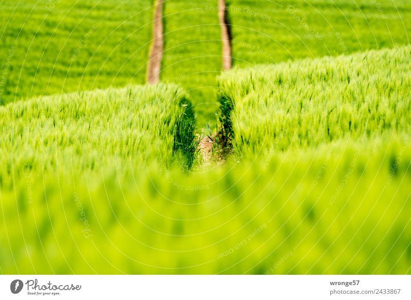 Getreidefeld mit Fahrspuren Umwelt Natur Pflanze Sommer Schönes Wetter Nutzpflanze Feld Wachstum grün Erfahrung Feldrand Spuren Reifenspuren Gegenlicht