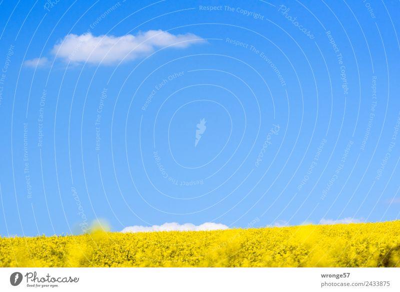 Blühendes Rapsfeld unter blauem Himmel Pflanze Landschaft weiß Wolken gelb Umwelt Frühling natürlich Horizont Feld Wachstum Schönes Wetter Blauer Himmel
