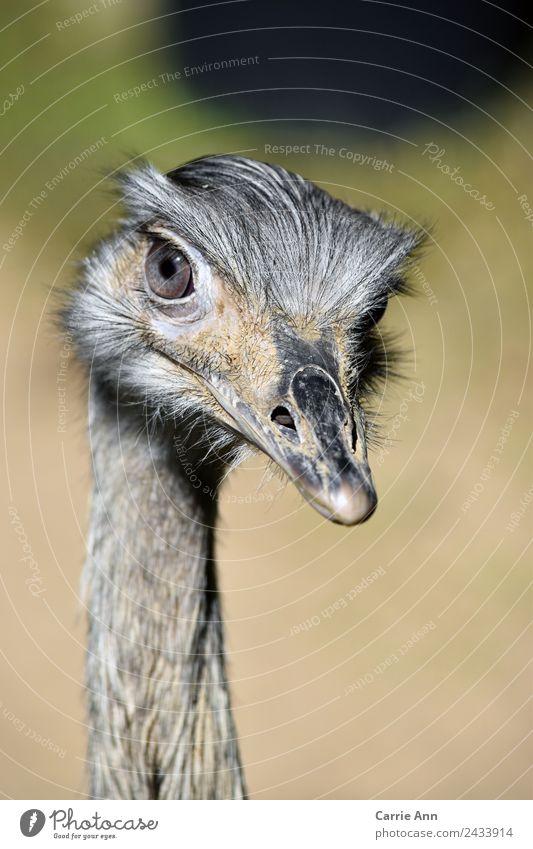 Im Visier des Emus Tier Vogel Tiergesicht Zoo 1 beobachten Blick elegant Freundlichkeit schön nah natürlich wild gelb grau schwarz silber selbstbewußt Vertrauen