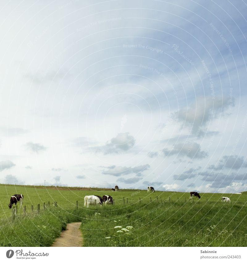 Rasenmäher Fleisch Ernährung Umwelt Natur Landschaft Himmel Sommer Wiese Weide Wege & Pfade Fressen Schottland Nutztier Kuh blau grün schwarz weiß Bauernhof