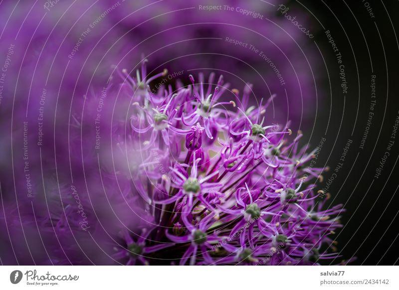 lila Duftkissen Umwelt Natur Pflanze Frühling Blume Blüte Garten Porree Frühlingsblume Blühend schön weich Zierlauch Kontrast Farbfoto Außenaufnahme Nahaufnahme