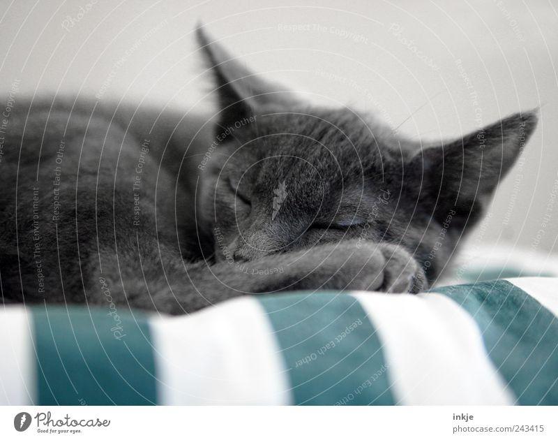 müder Krieger Haustier Katze Tiergesicht Pfote Katzenbaby 1 Tierjunges Erholung liegen schlafen kuschlig niedlich weich grau Gefühle Stimmung Zufriedenheit
