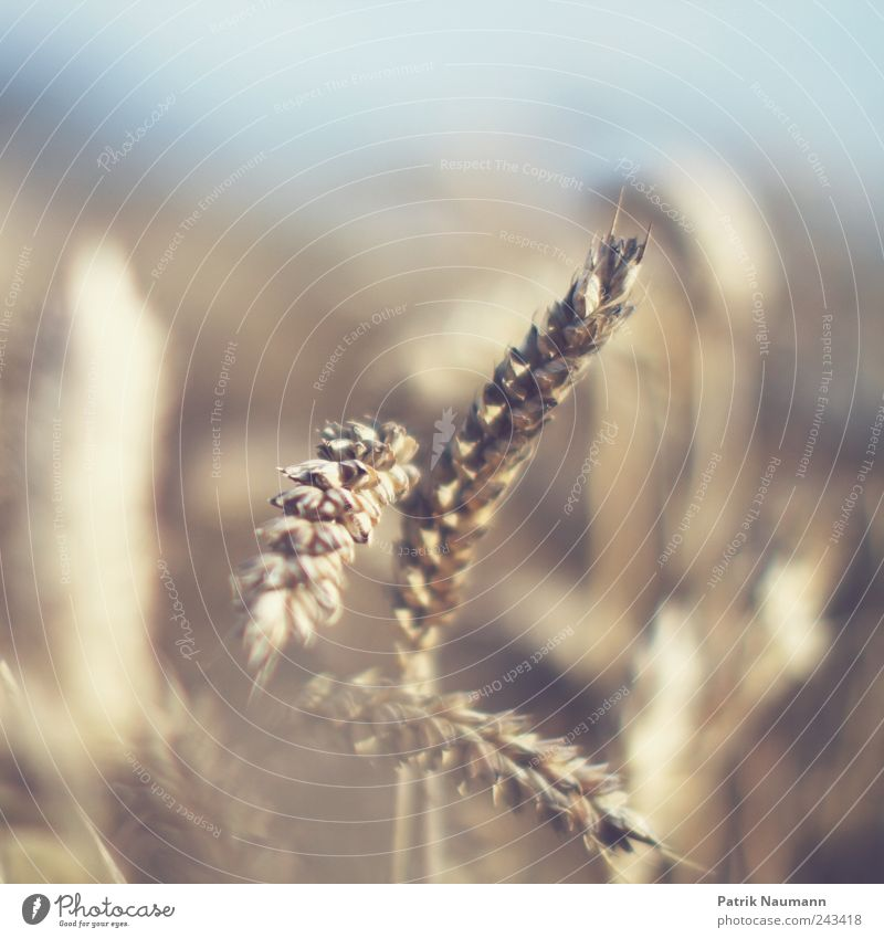 wheat Getreide Teigwaren Backwaren Ernährung Umwelt Natur Klima Klimawandel Schönes Wetter Nutzpflanze Feld dehydrieren Wachstum blau gelb gold Ernte Weizen