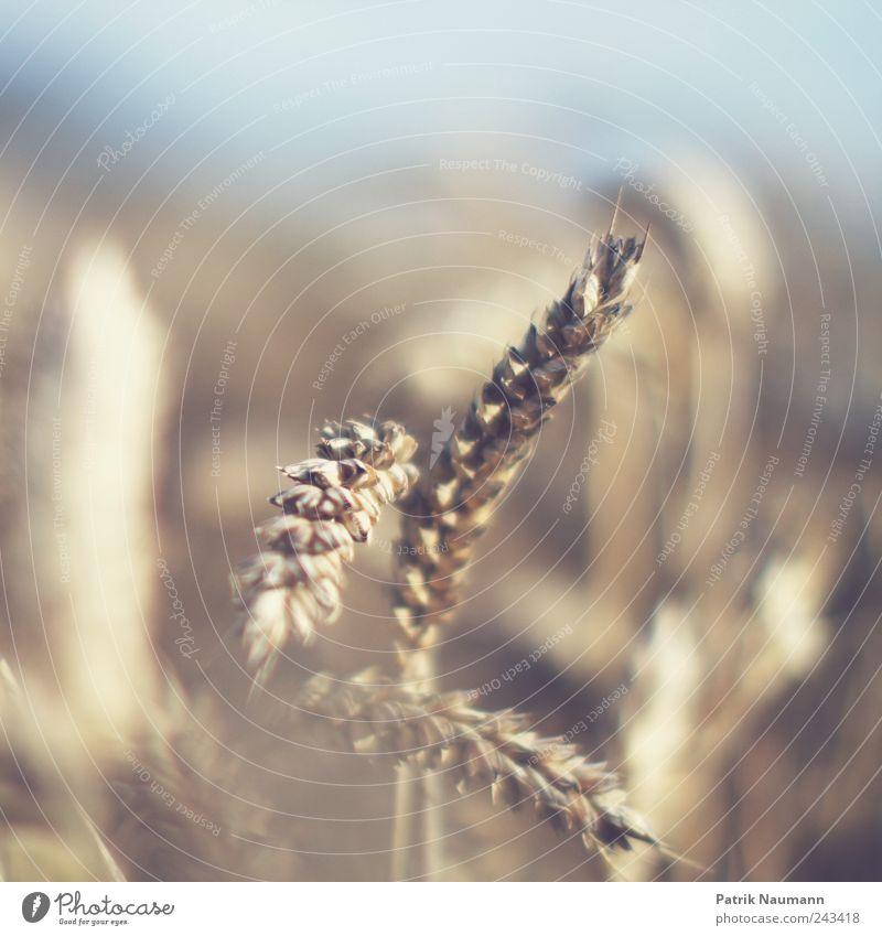 wheat Natur blau gelb Ernährung Umwelt Feld gold Wachstum Klima Getreide Landwirtschaft Ernte reif Schönes Wetter Backwaren