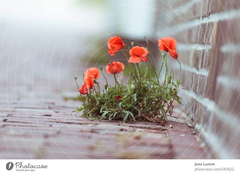 Break on Through Blume grün rot Wand grau Boden Mohn verloren Ewigkeit einzeln Pflastersteine Durchsetzungsvermögen