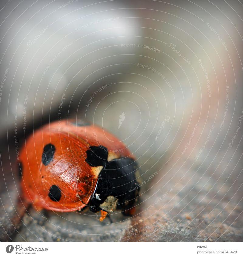 Auf die Schippe nehmen alt schön rot Sommer Tier schwarz Umwelt klein Stein Ordnung Sauberkeit Reinigen Punkt silber Ekel Marienkäfer