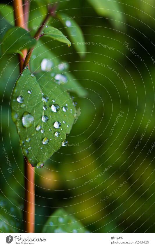 Tropfenschild Umwelt Natur Pflanze Wasser Wassertropfen Sommer schlechtes Wetter Regen Blüte Grünpflanze Park kalt grün Stengel Wachstum feucht kleben Farbfoto