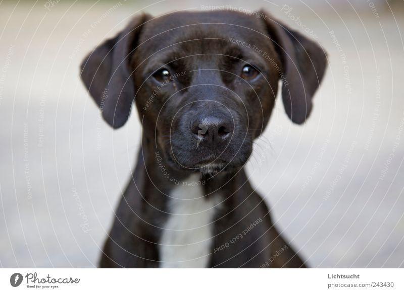 Unschuldig Haustier Hund Welpe 1 Tier beobachten Erholung glänzend Blick Neugier positiv Klischee braun weiß Vertrauen Schutz Geborgenheit Sympathie Tierliebe