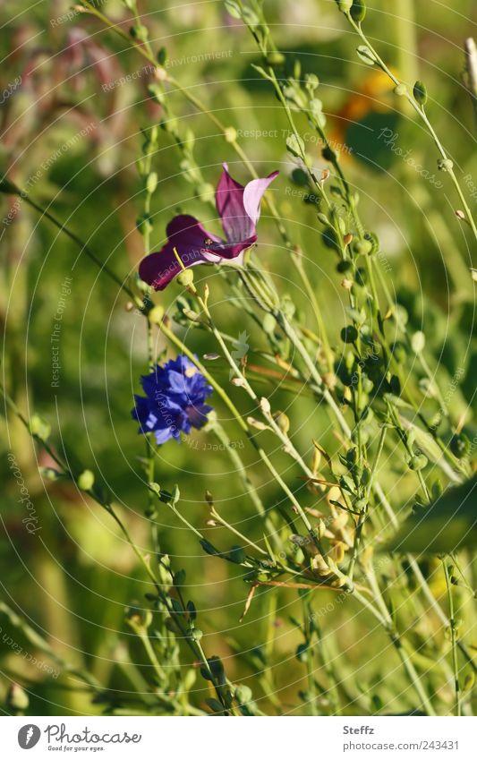 Wiesenblumen im Wind Blumenwiese Kornblume Wildpflanzen Sommerblumen Wildblumen Unkraut grün Sträucher natürlich Blühend einfach wachsen frisch Sommergefühl