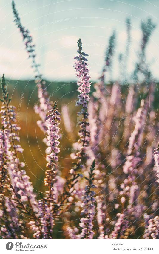 rosa Blüten von calluna vulgaris auf einem Feld bei Sonnenuntergang schön Sommer Natur Pflanze Frühling Herbst Blume Sträucher Blatt Garten Park Wiese Duft