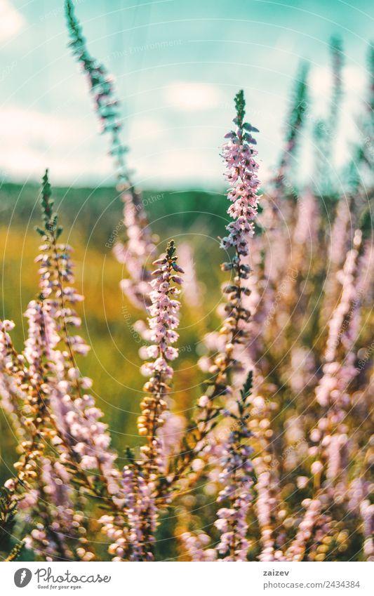 rosa Blüten von calluna vulgaris auf einem Feld bei Sonnenuntergang schön Sommer Natur Pflanze Frühling Herbst Winter Blume Sträucher Blatt Grünpflanze Garten