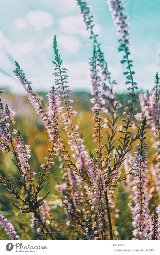 rosa Blüten von calluna vulgaris auf einem Feld bei Sonnenuntergang schön Sommer Umwelt Natur Pflanze Frühling Blume Sträucher Blatt Garten Park Wiese Wald